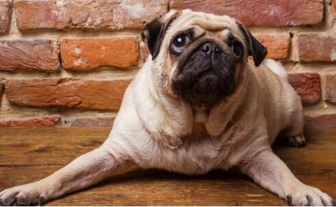 富有魅力而高雅的巴哥犬该如何来喂养呢