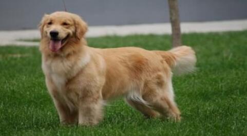 总是弄得一身泥的金毛犬该怎么对它呢?