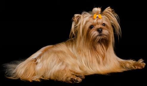 想养狗狗就养一只迷人可爱的约克夏吧