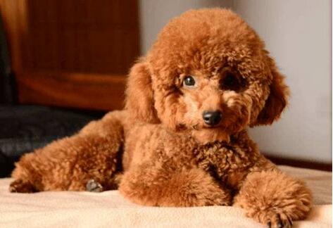 泰迪狗多少钱一只,泰迪犬怎么养?
