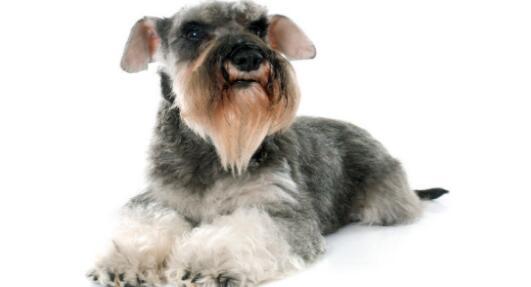 养只老头狗雪纳瑞真的很不错,为什么呢?看了就知道了