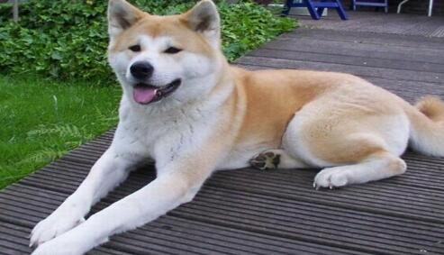 秋田犬真的是一只很实用的狗狗,来看看原因吧