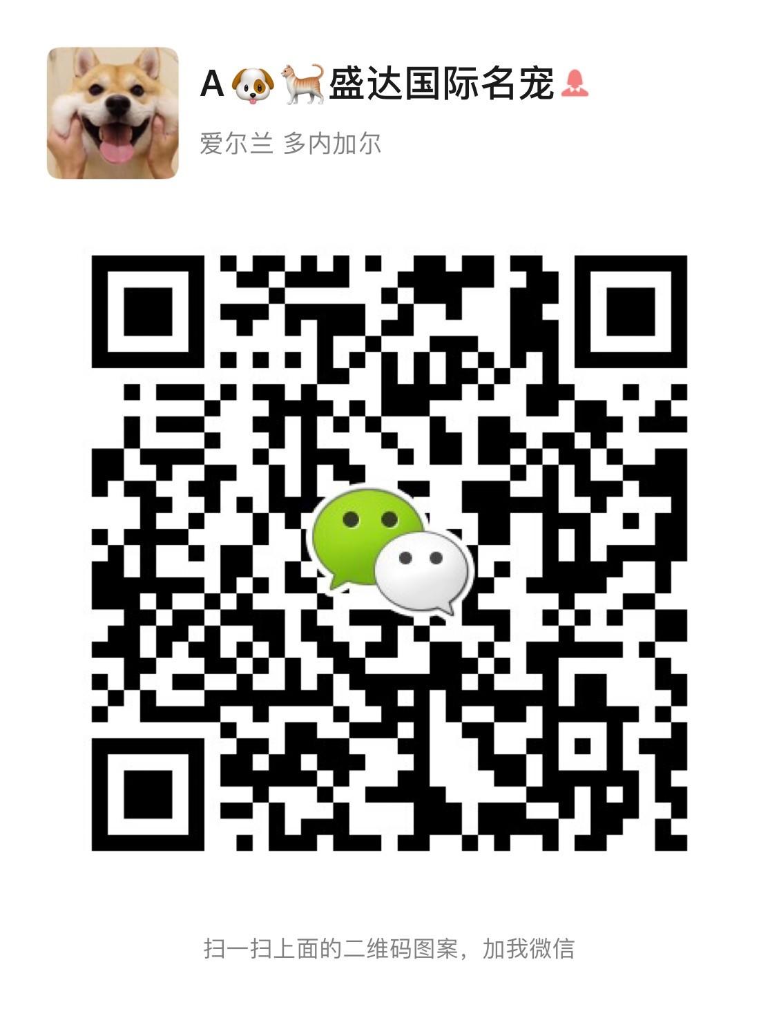 顶级优秀狗场出售郑州雪纳瑞 颜色多价格低廉5