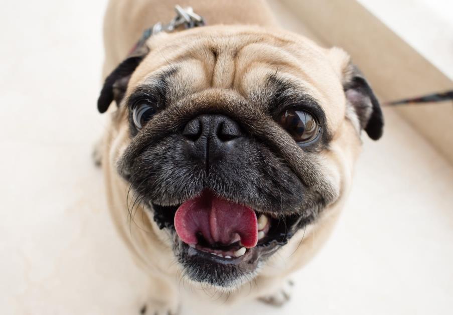 巴哥犬市场价多少钱一只