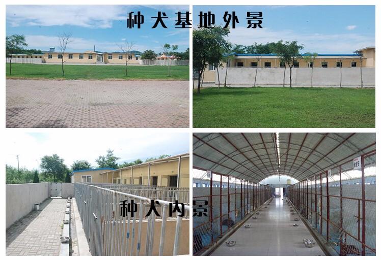 杭州本地狗场出售优秀哈士奇 赛级品质保证身体健康8