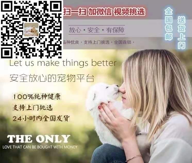 杭州专业狗场繁殖萨摩耶犬幼犬 包养活签协议有保障5