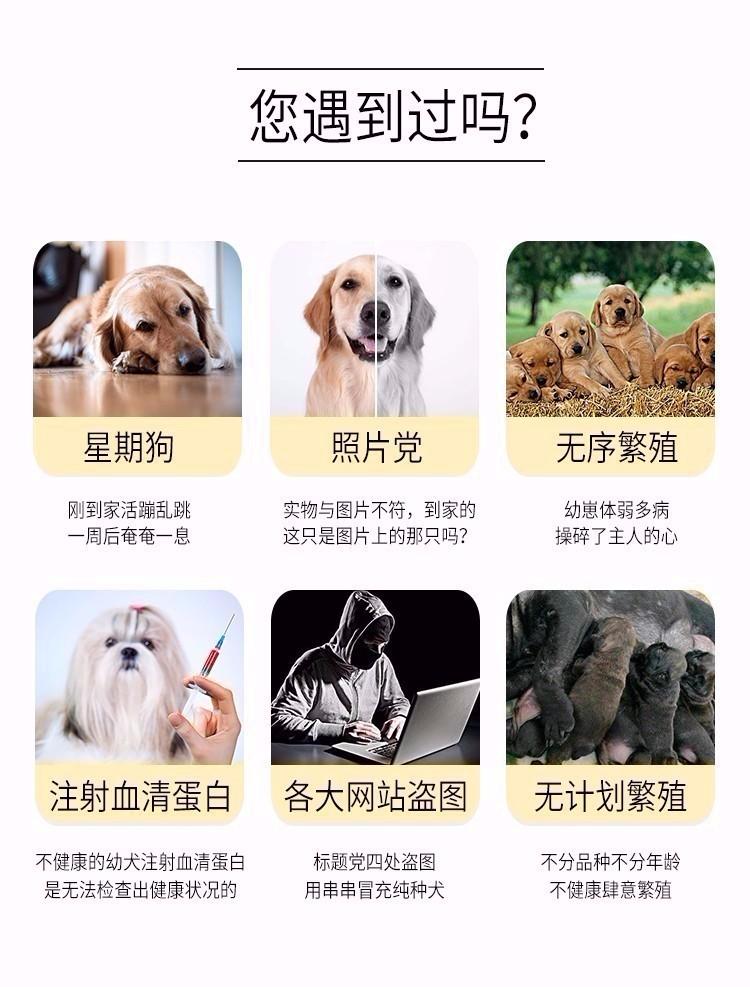 精心繁育黄金猎犬出售颜色正体型完美性格温顺金毛9