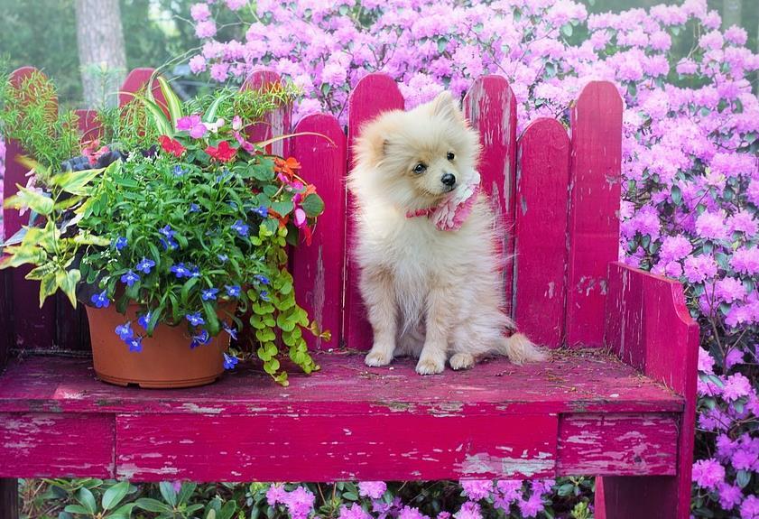 博美犬这么可爱,怎样才能挑选到优质的博美犬呢