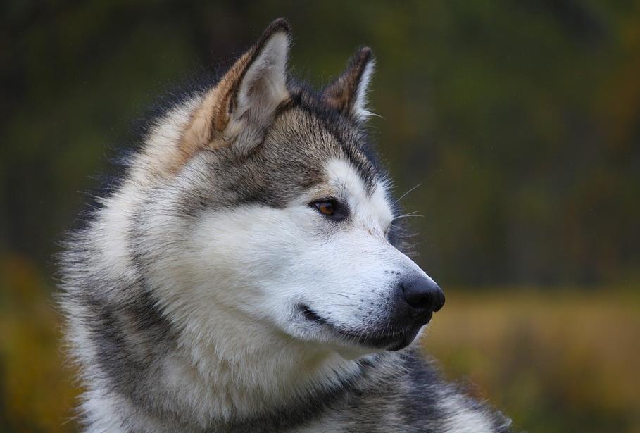 帅气的阿拉斯加在喂食上不能马虎,以下几点需注意