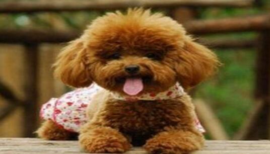 原来泰迪的智商这么高,并且还是只猎犬呢!
