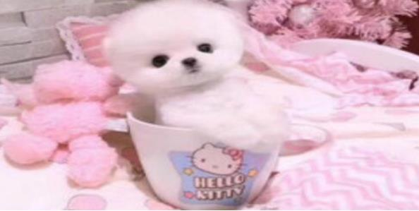 拥有着温柔外表的茶杯犬真可爱,带一只回家吧