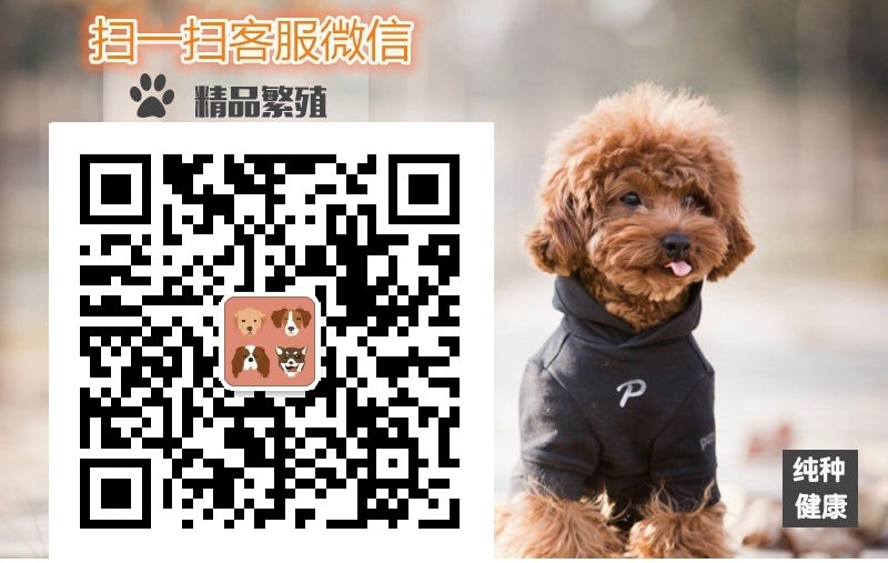 重庆大头版大骨量英系美系金毛巡回犬 当场验健康品质5