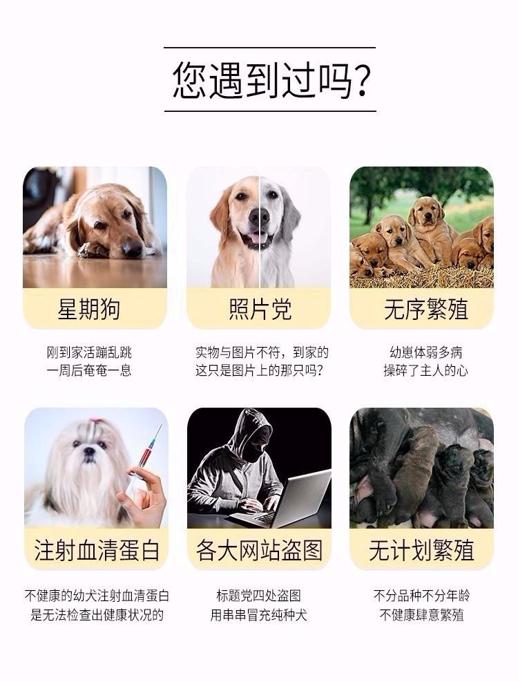 重庆大头版大骨量英系美系金毛巡回犬 当场验健康品质10