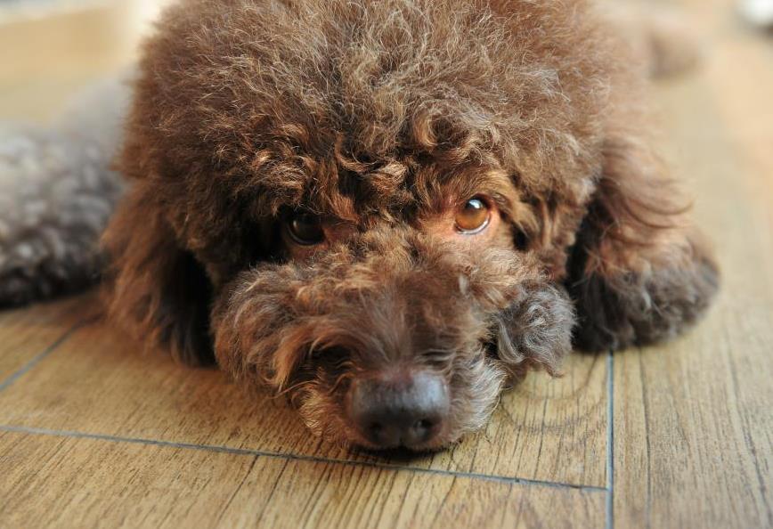 一只健康优质的泰迪犬,应该具备以下这些特点