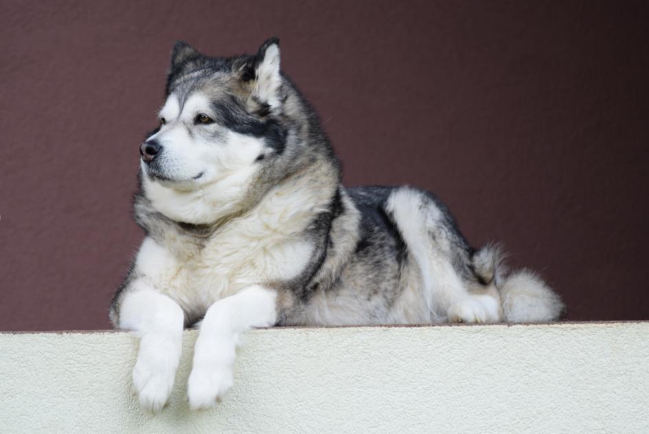 想要买到一只称心如意的阿拉斯加犬应该怎样挑呢