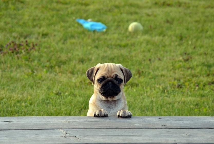 幼犬时期的巴哥犬在饮食上需要注意哪些问题