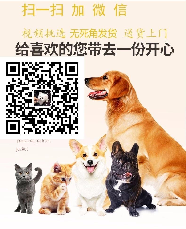 袖珍超小体济南博美犬找新主人 均保证健康、存活5