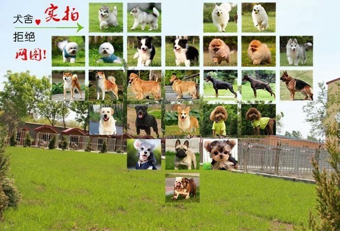 大型犬舍低价热卖极品阿拉斯加犬签订三包合同7