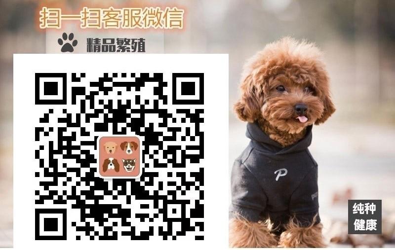 纯种腊肠犬出售 矮脚小骑士纯种包健康高品质疫苗齐全5