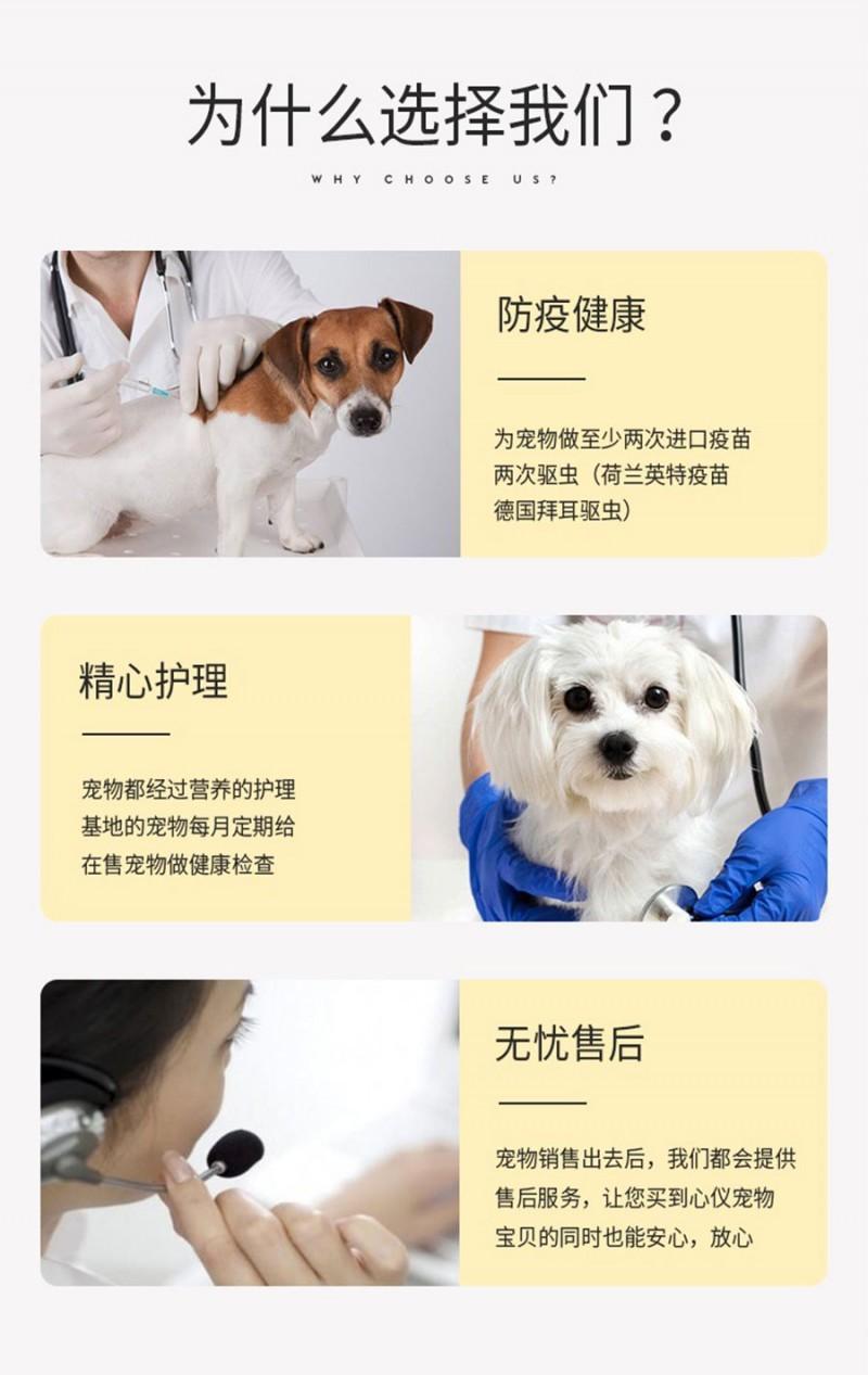 极品博美犬 保纯种保健康 CKU认证犬舍  一犬一证7
