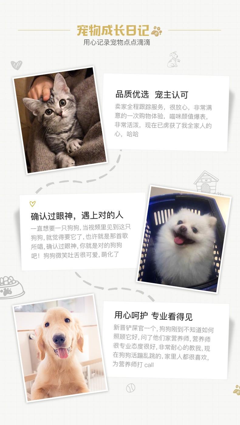 极品博美犬 保纯种保健康 CKU认证犬舍  一犬一证14