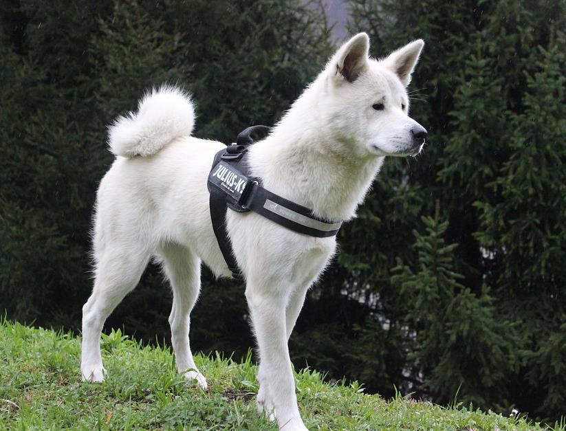 对待主人很忠诚的秋田犬,在挑选上有哪些技巧呢