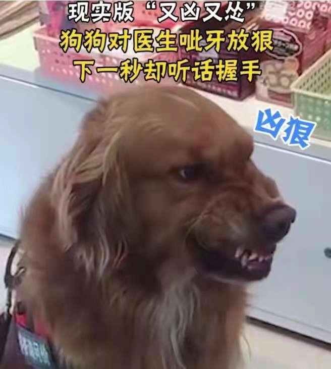 """狗狗边呲牙边和医生握手,被网友调侃""""凶猛且怂"""""""
