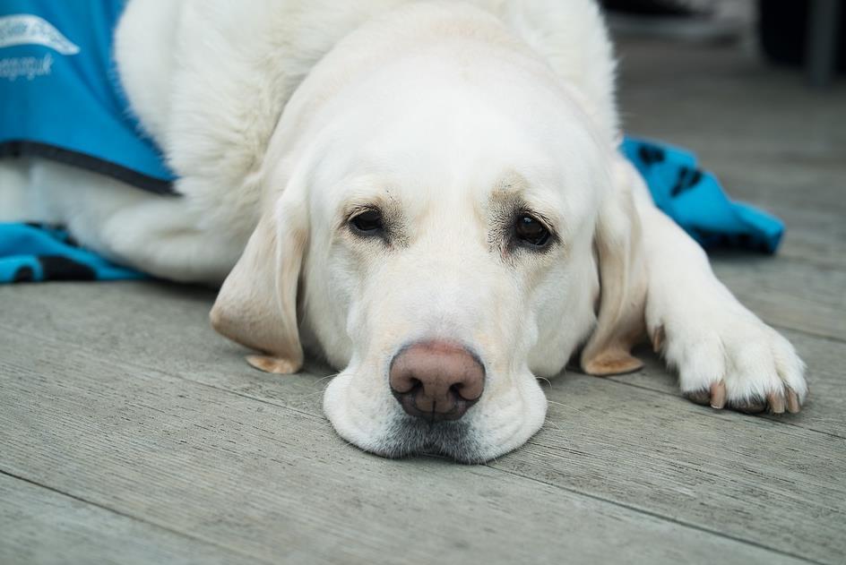 主人含泪为退役导盲犬拉布拉多找领养家庭