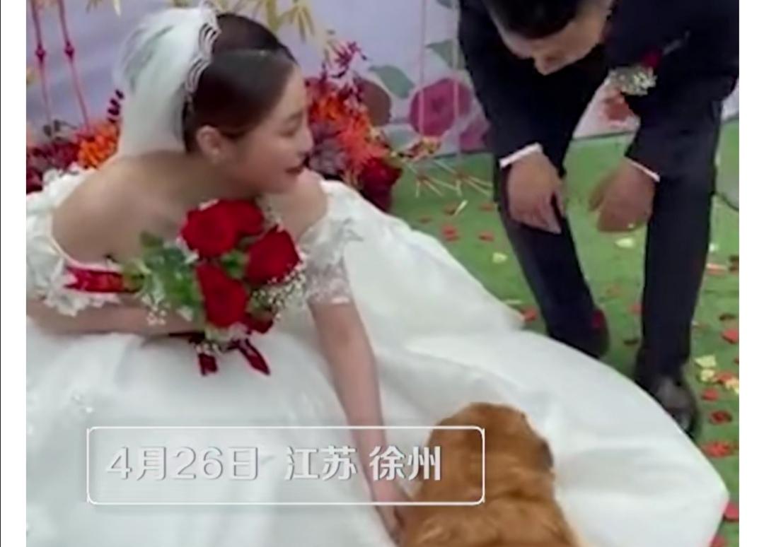 泪目!狗狗5次上台趴远嫁女主人的婚纱