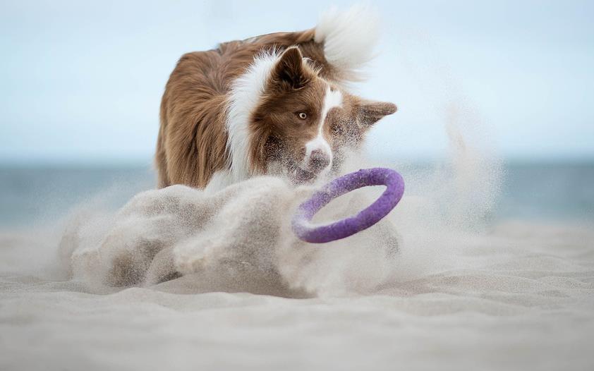 训练边境牧羊犬时不要对它做这两件事儿