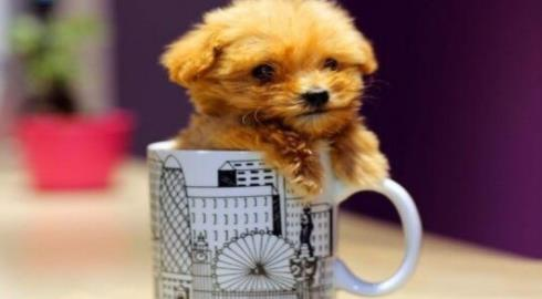 养茶杯犬的技巧你知道吗?快来学习一下吧