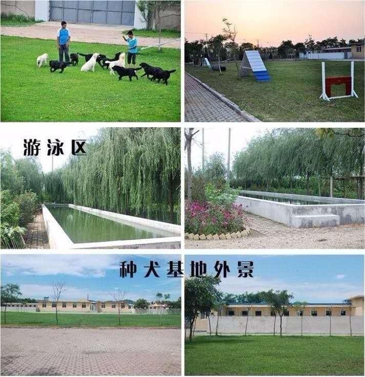 繁殖基地出售多种颜色的中亚牧羊犬价格美丽非诚勿扰9