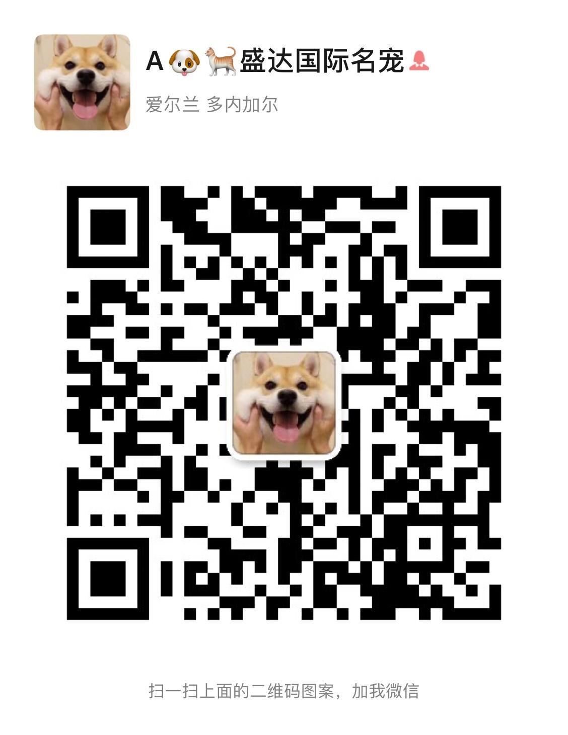 精品大头锤系德国牧羊犬直销 欢迎来上海犬舍直接购买5