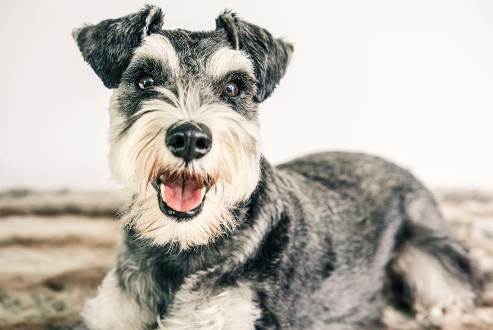 怎样快速挑出一只品质高且健康的雪纳瑞犬