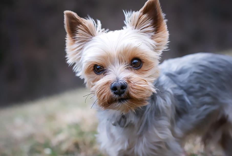 关于挑选约克夏犬的标准和重点