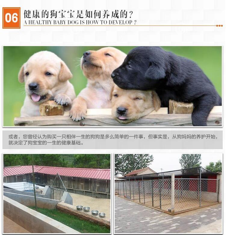 极品罗威纳等各种名犬欢迎上门选购12