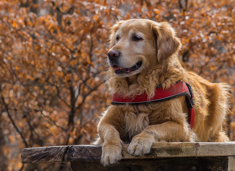 怎样才能挑选到一只优质的金毛犬呢?你需要这样做