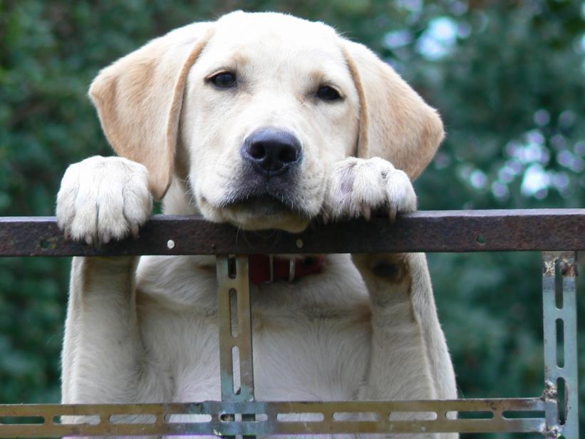 挑选拉布拉多的时候,如何避开病犬呢