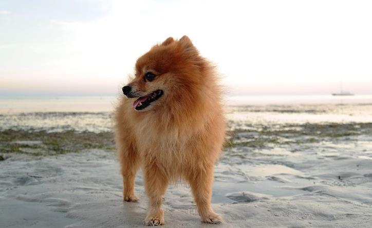 怎样才能预防博美犬患上皮肤病呢