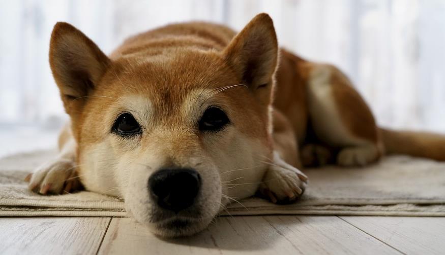 选购秋田犬的时候,一定要重点关注它的这些身体特征