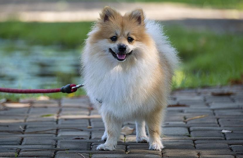 做好这两点,你家的博美犬会更漂亮