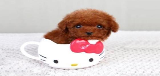 茶杯犬有眼屎不好看,怎样才能保持它眼睛的干净呢