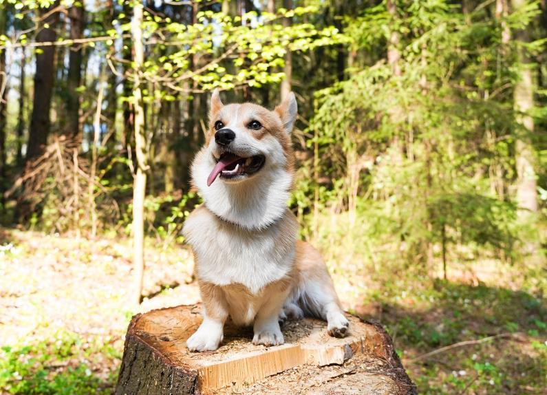 想将柯基犬训练成优秀的狗狗,试试下面几个方法吧