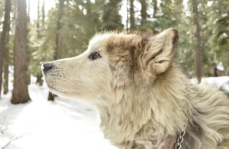怎样才能克服阿拉斯加犬的恐惧心理呢