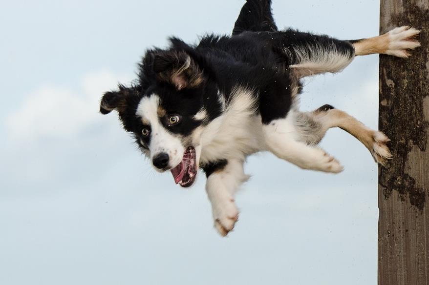 狗爱吃骨头没有错,但是以下骨头不能喂边境牧羊犬