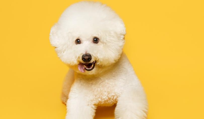 喜欢小型犬的可以试试养一只比熊犬,真的太可爱了