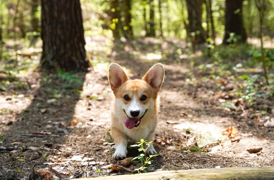 饲养柯基犬的时候,一定要注意以下3个小技巧