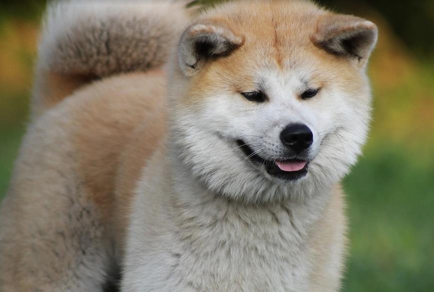 学会给秋田犬保养毛发,让它的颜值更上一层楼