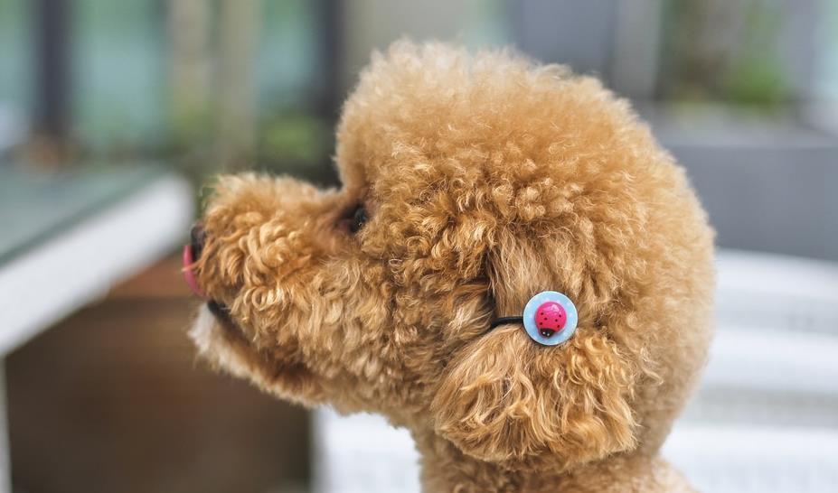 如果你想养一只聪明可爱的狗狗,可以考虑一下贵宾犬