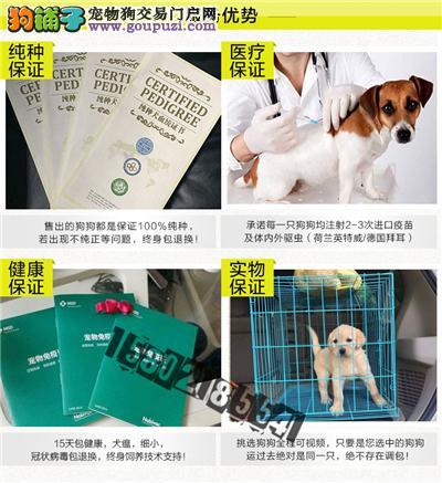 出售多种颜色武汉纯种泰迪犬幼犬微信看狗可见父母